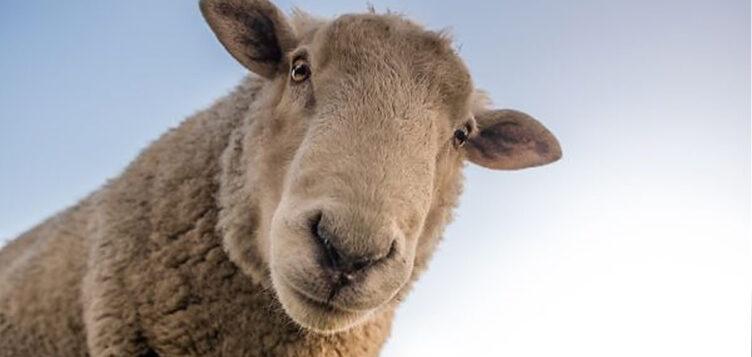 牧羊是迈向可持续能源生产的又一步吗?