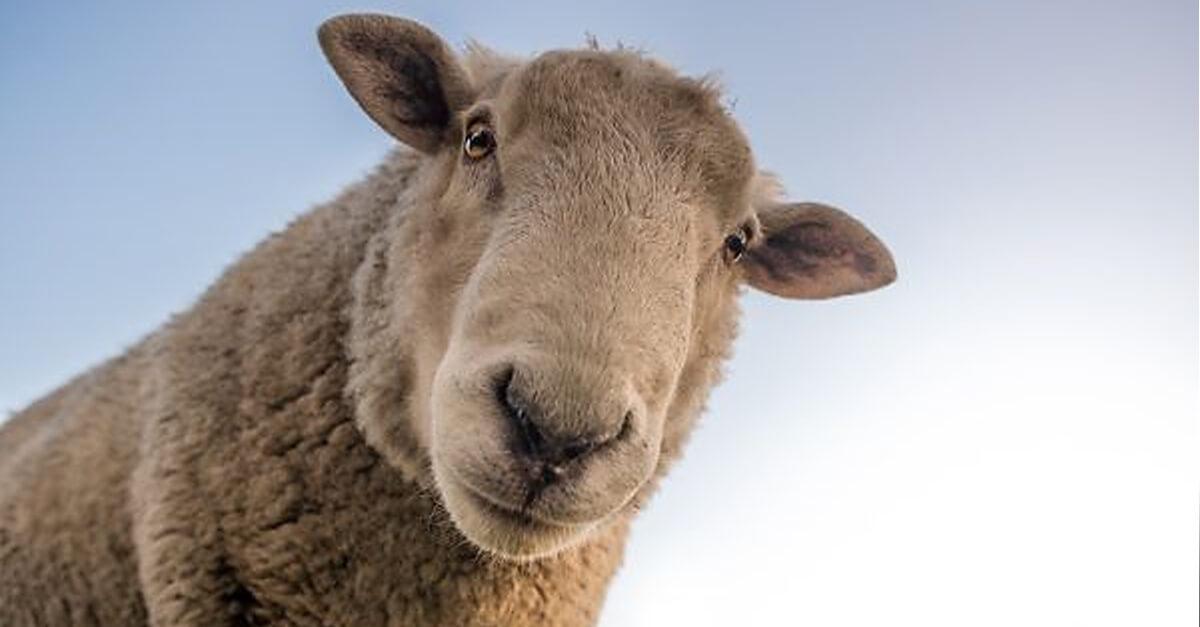 ¿Es contar ovejas otro paso hacia la producción de energía sostenible?